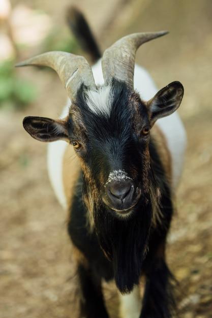 Close-up Stojąca Farma Kóz W Stajni Darmowe Zdjęcia