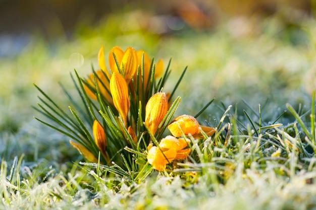 Crocus Yellow In Morning Frost Premium Zdjęcia