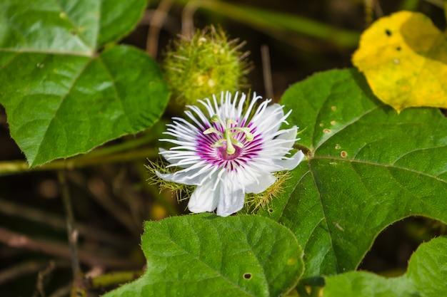 Cuchnący Passionflower W Lesie Premium Zdjęcia