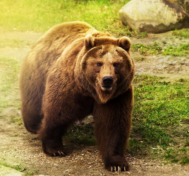 Cute Niedźwiedź Rosyjski Spaceru Na Zielonej Trawie. Tło Przyrody. Darmowe Zdjęcia