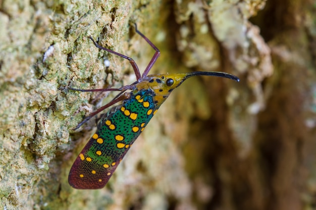 Cykada Lub Lanternfly (saiva Gemmata) Premium Zdjęcia