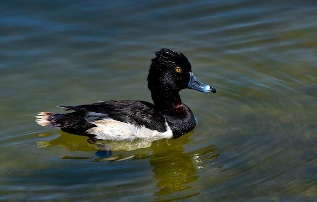 Czarno-biały Krzyżówka Pływanie W Jeziorze W Ciągu Dnia Darmowe Zdjęcia