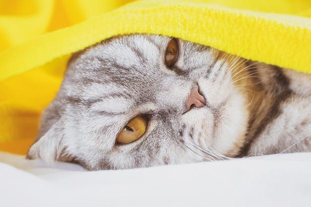 Czarno-szary Kot Szkocki Zwisłouchy śpi Na Kanapie Pod żółtą Kratą. Premium Zdjęcia