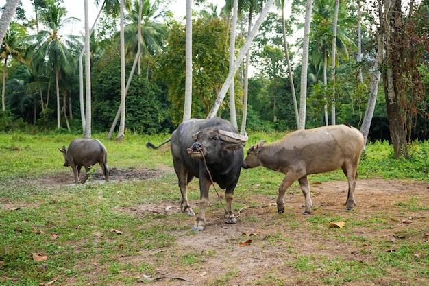 Czarny Bawół Pasie Się Na łące W Tropikalnej Dżungli Premium Zdjęcia
