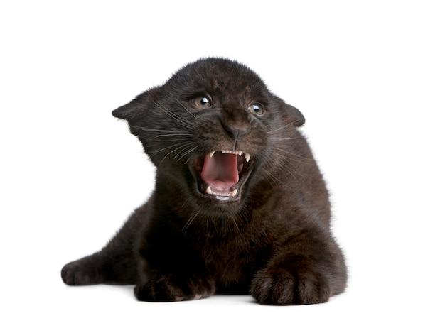 Czarny Jaguara Lisiątko, Panthera Onca, Odizolowywający Na Bielu Premium Zdjęcia