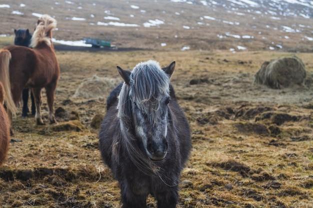 Czarny Koń Islandzki W Polu Pokryte śniegiem I Trawą W Słońcu W Islandii Darmowe Zdjęcia