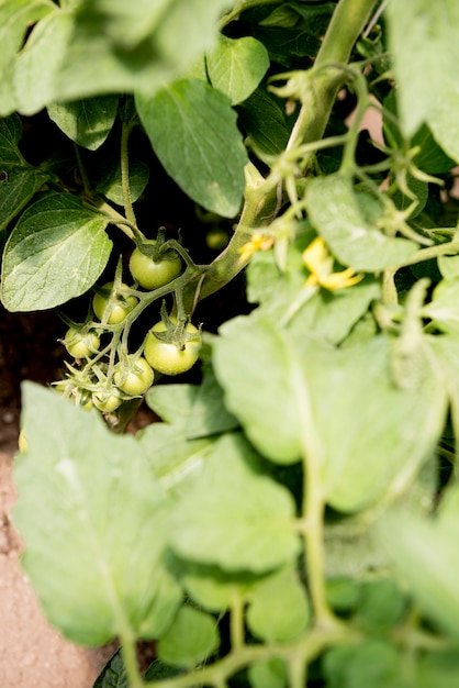 Czereśniowi Pomidory W Szklarnianym Wysokim Widoku Darmowe Zdjęcia