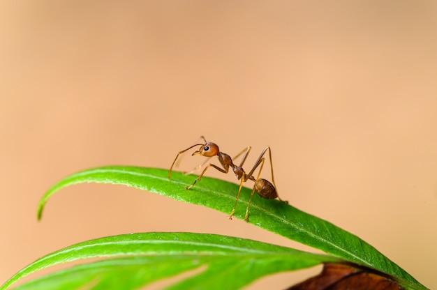 Czerwona Mrówka Lub Oecophylla Smaragdina Na Roślinach W Naturze. Premium Zdjęcia
