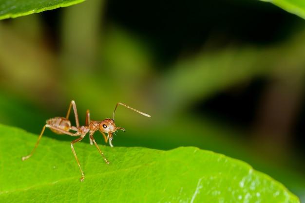 Czerwona Mrówka Na świeżym Liściu W Naturze Premium Zdjęcia
