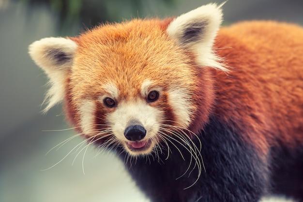 Czerwona panda Premium Zdjęcia