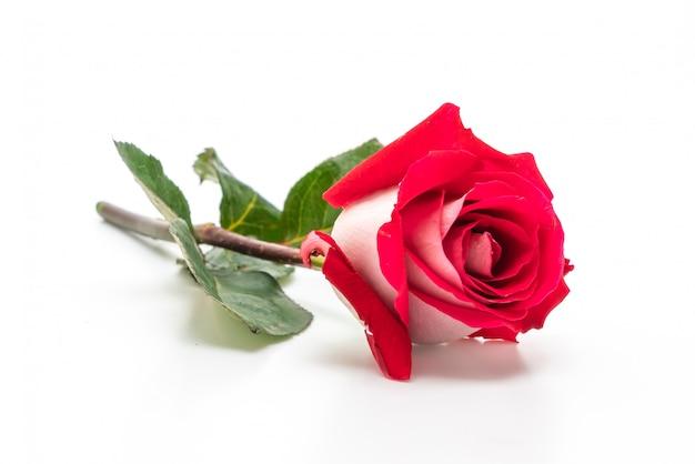 Czerwona róża na białym tle Premium Zdjęcia