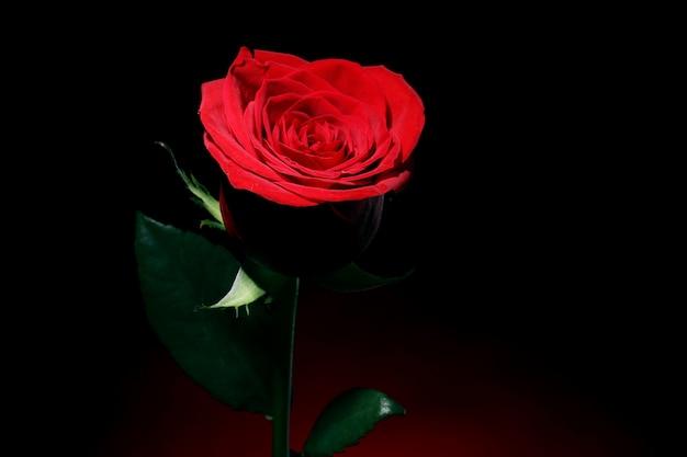 Czerwona Róża W Ciemności Darmowe Zdjęcia