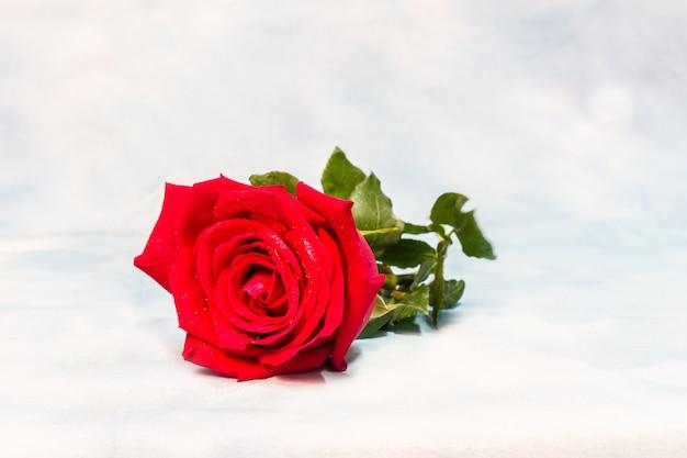 Czerwona róża z kroplami wody Premium Zdjęcia