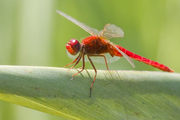 Czerwona Ważka Na Liściu Z Bliska Darmowe Zdjęcia