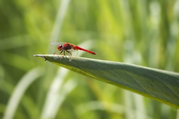Czerwona Ważka Na Roślinie Z Bliska Darmowe Zdjęcia
