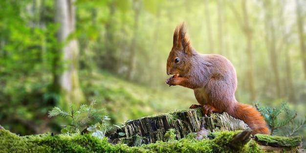 Czerwona Wiewiórka Je Dokrętki W Zielonym Wiosna Lesie Z Kopii Przestrzenią. Premium Zdjęcia