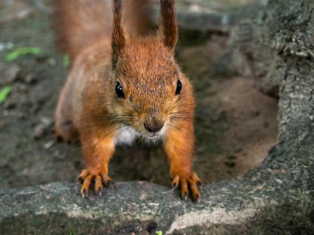 Czerwona Wiewiórka W Parkowym Zakończeniu. Premium Zdjęcia