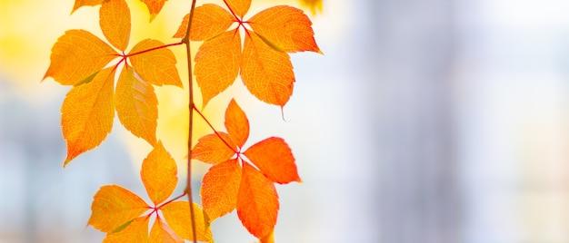 Czerwone Liście Dzikich Winogron. Jesienne Liście Dzikich Winogron Z Rozmytym Tłem. Premium Zdjęcia