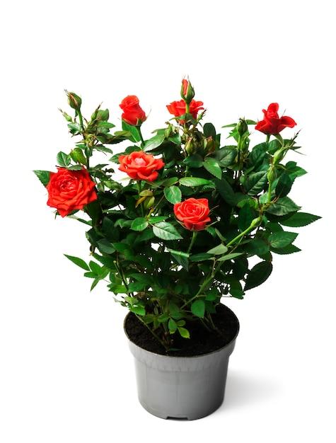Czerwone Róże W Garnku Na Białym Tle Premium Zdjęcia