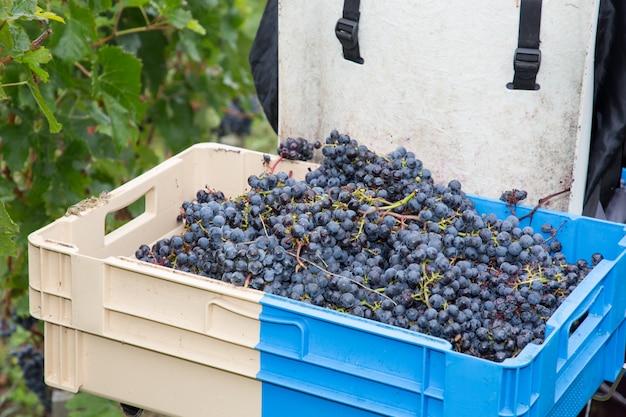 Czerwoni Winogrona Podczas żniwa Czasu W Koszu Premium Zdjęcia