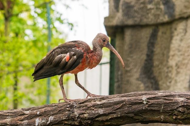 Czerwono-szary Ptak Zwany Ibisem Stojący Na Drzewie Darmowe Zdjęcia