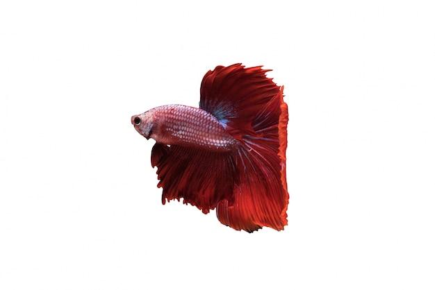Czerwony halfmoon betta splendens lub ryby siamese walki izolowane Darmowe Zdjęcia