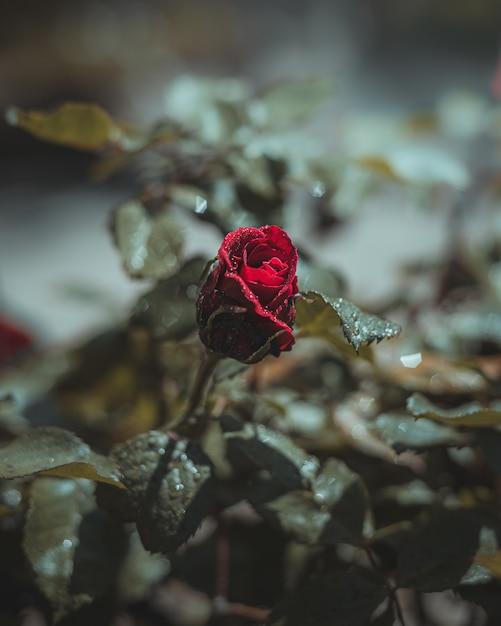 Czerwony Kwiat Róży Z Kropli Wody Darmowe Zdjęcia