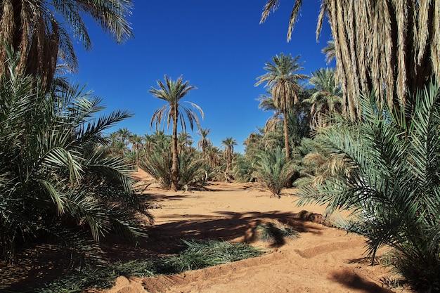 Daktylowy drzewko palmowe w timimun porzucał miasto w saharze, algieria Premium Zdjęcia