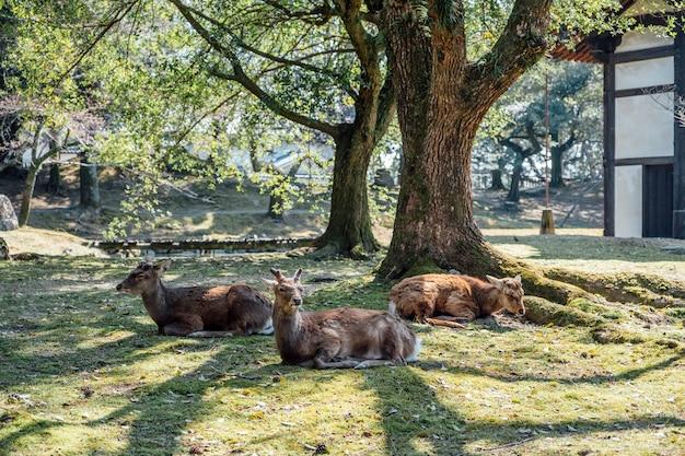 Deet Siedzi W Parku, Nara W Japonii Darmowe Zdjęcia