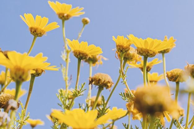 Defocused żółty Chamomile Na Niebieskim Niebie Premium Zdjęcia