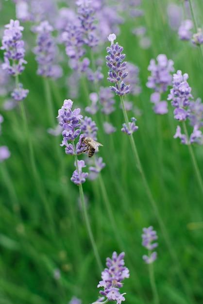 Delikatne Kwiaty Lawendy Bzu W Ogrodzie Premium Zdjęcia