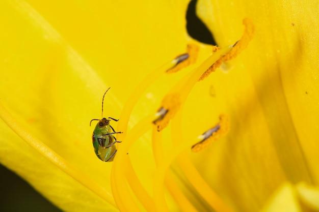Diabrotica Speciosa Na żółtym Lilium Premium Zdjęcia