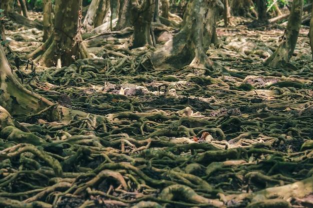Do przylegania wykorzystuje się wiele korzeni drzew w lesie namorzynowym. Premium Zdjęcia