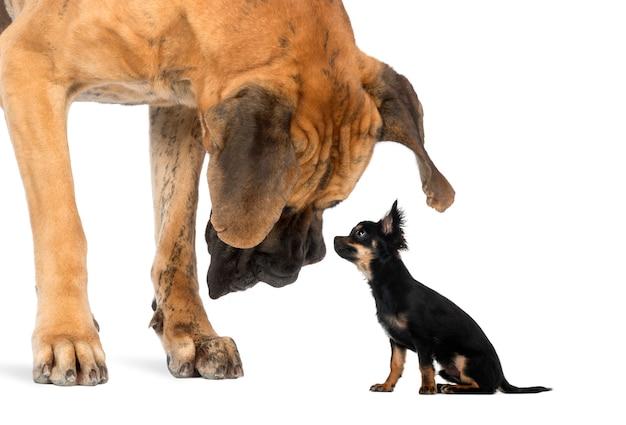 Dog Niemiecki Patrząc Na Posiedzenia Chihuahua Premium Zdjęcia