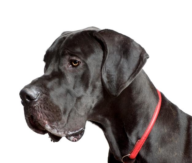 Dog Niemiecki, Strzał W Studio Premium Zdjęcia