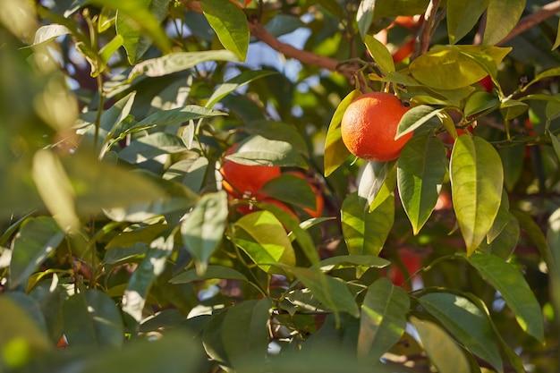 Dojrzałe, Soczyste Pomarańcze Rosnące Na Zewnątrz Na Drzewie W Słońcu Premium Zdjęcia