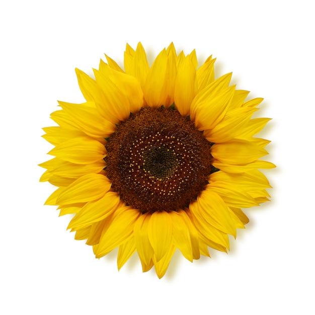 Dojrzały Słonecznik Na Białym, Odgórnym Widoku. Premium Zdjęcia