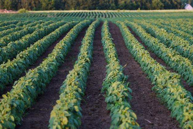 Dojrzewanie pola soi w sezonie wiosennym Premium Zdjęcia