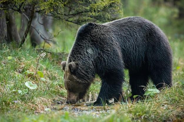 Dominująca Niedźwiedzia Brunatnego Męska Woda Pitna Od Strumienia W Lesie Premium Zdjęcia