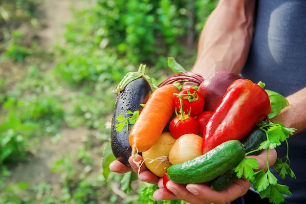 Domowe warzywa w rękach mężczyzn. żniwa. selektywna ostrość. Premium Zdjęcia
