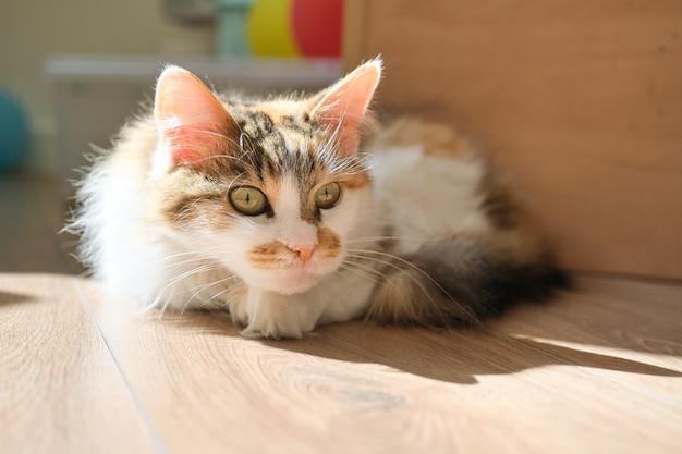 Domowy Trójkolorowy Kot Leżący Na Podłodze W Pokoju Premium Zdjęcia