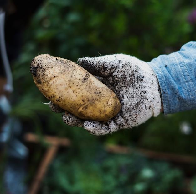 Dorosła Mężczyzna Ręka Trzyma świeżego Grula Z Ziemią Premium Zdjęcia