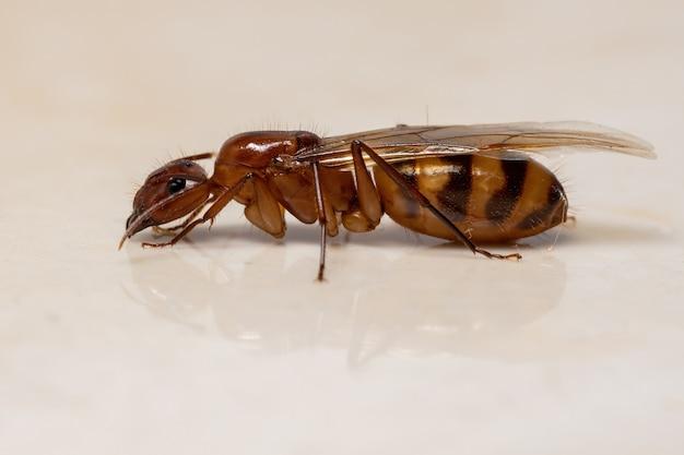 Dorosła Mrówka Stolarska Z Rodzaju Camponotus Premium Zdjęcia