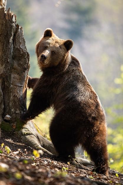 Dorosły Niedźwiedź Brunatny Stojący W Pozycji Pionowej Na Tylnych Nogach Drzewa. Premium Zdjęcia