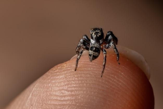 Dorosły Samiec Skaczącego Pająka Z Rodzaju Corythalia Na Palcu Gatunek Wyspecjalizowany W Drapieżnych Mrówkach Premium Zdjęcia