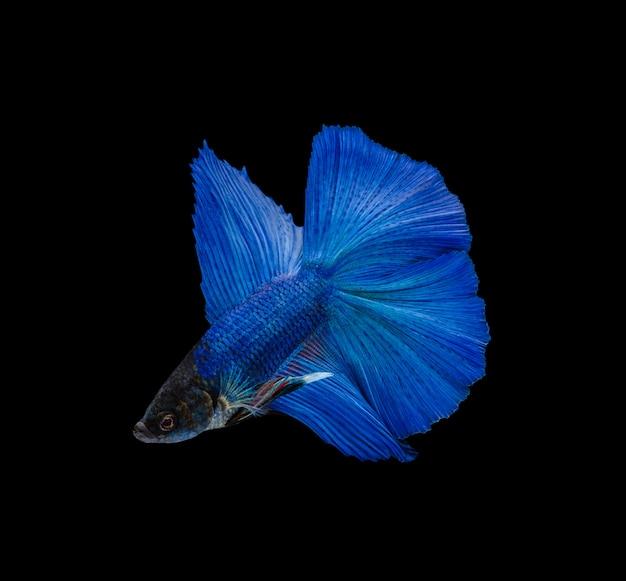 Doubletail Super Niebieski Półksiężyc Bojownik Na Białym Tle Na Czarnej ścianie Premium Zdjęcia