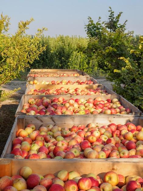 Drewniane Skrzynie Pełne Dojrzałych Jabłek Podczas Rocznego Okresu Zbiorów Premium Zdjęcia