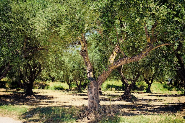 Drzewa Oliwne Premium Zdjęcia