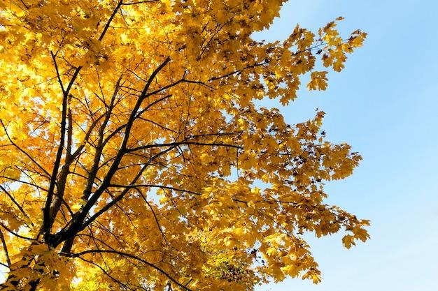 Drzewa Z Pożółkłymi Liśćmi Klonu Jesienią Tego Roku Na Tle Błękitnego Nieba Premium Zdjęcia