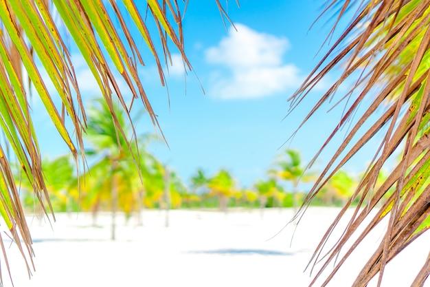 Drzewka palmowe na białej piasek plaży. playa sirena. cayo largo. kuba. Premium Zdjęcia